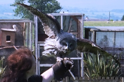 030 Orville the Great Grey Owl  about to take off.jpg 1