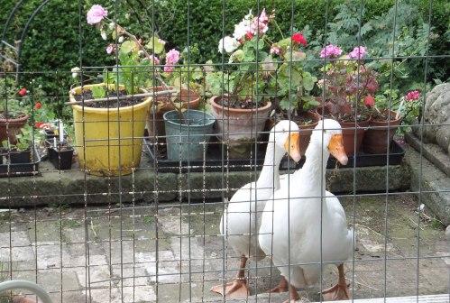 broody geese 010