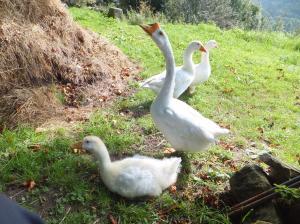 more gosling 2014 022