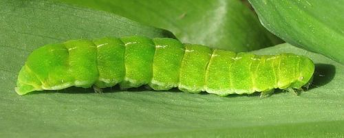 angle shade moth caterpillar