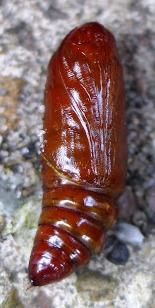 angle shade moth chrysalis