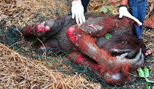 wildlife-suffring-due-to-palm-oil1